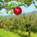 Pályázat többéves gyümölcs- és komló ültetvények telepítésére